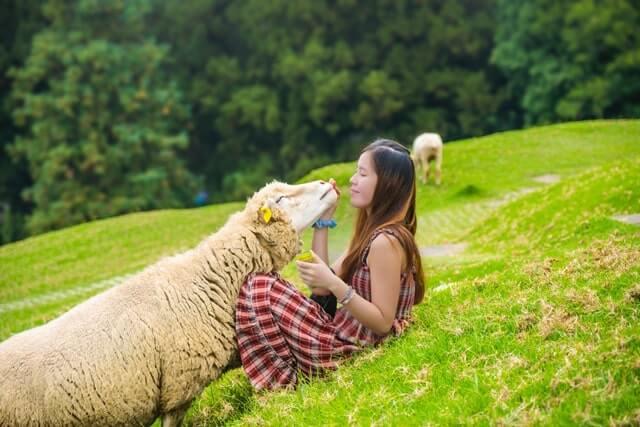 羊と向かい合っている女性