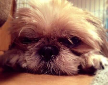 犬のシーズーが寝そべっている